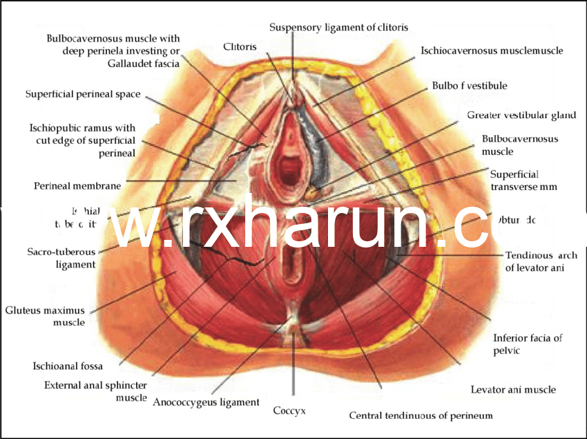 What are the pelvic floor muscles? Origin, Functions,