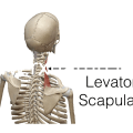 Functions of Levator Scapulae