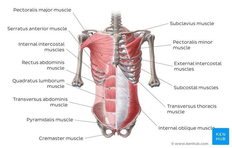 What Is Quadratus Lumborum Muscle?, What Is Quadratus Lumborum Muscle? Functions,
