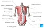 Rectus Abdominis Muscle; Origin, Nerve Supply, Function