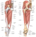 Muscle Attachment of Hip Joint – Functions