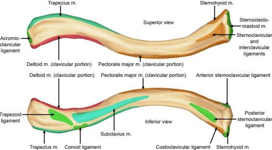 Muscle Attachment of Clavicle