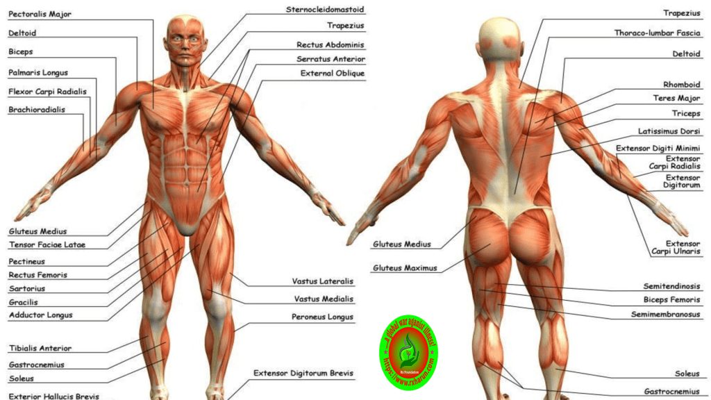 What Is Scapula?