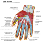 Intrinsic Muscles of Hand – Origin, Nerve Supply, Function