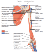 Pronation Muscles of Anterior Forearm Deep Layer
