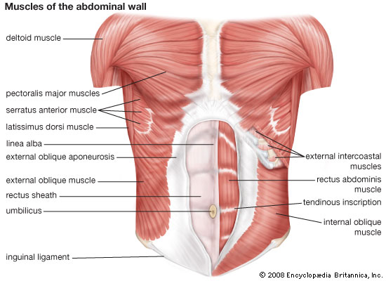 Abdominal Wall Muscle – Origin, Nerve Supply, Function,
