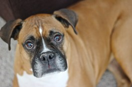 Ollie, The Boxer