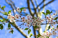 Cherry Blossoms in High Park No. 2