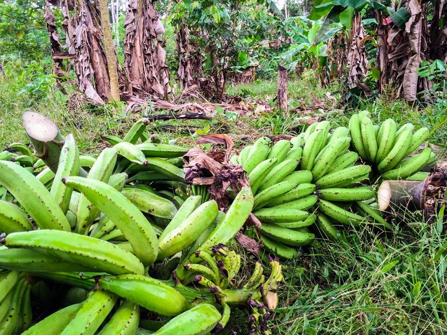 banana harvest at Sr Wenceslau's agroforestry farm
