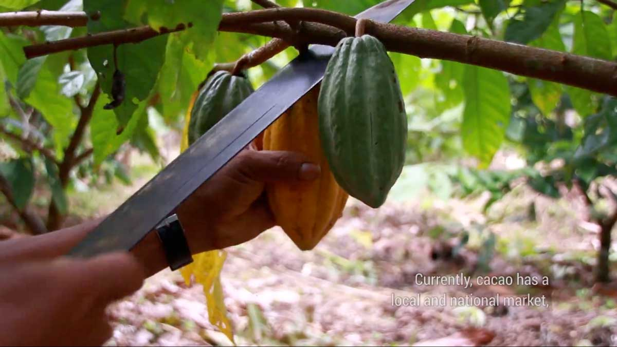 conserving the corridor - agroforestry in the Peruvian Amazon, harvesting cacao