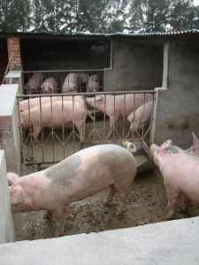 marketing-lesson-agriculture-pigs
