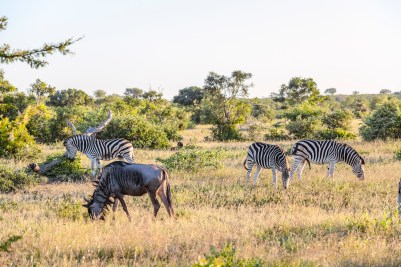 IMG_0515-Burchells-Zebra-Blue-Wildebeest