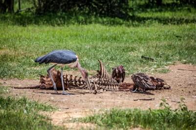 IMG_0671-Hooded-Vulture_Marabou-Stork