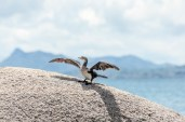 IMG_8358-White-breasted-Cormorant