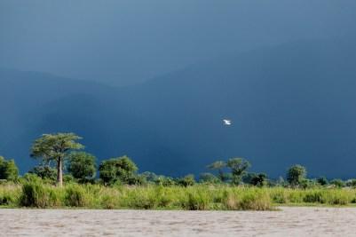 IMG_9487-Eastern-Cattle-Egret