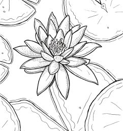 free printable water lily coloring page download u2013 ryanne levinfree printable water lily coloring page [ 1577 x 2048 Pixel ]