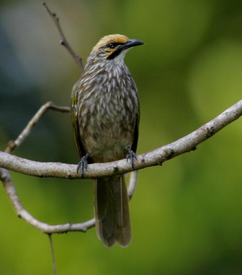 Gambar Burung Cicak Rowo  Gambarrrrrrr