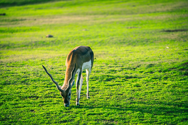 This is a single shot  of a lonely gazelle taken on one of the caravan safaris at the San Diego Wildlife Park.  Such a cool experience.