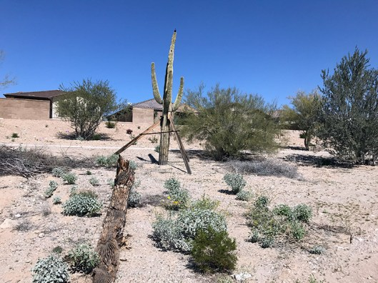 Lots of cacti to be had in Buckeye.