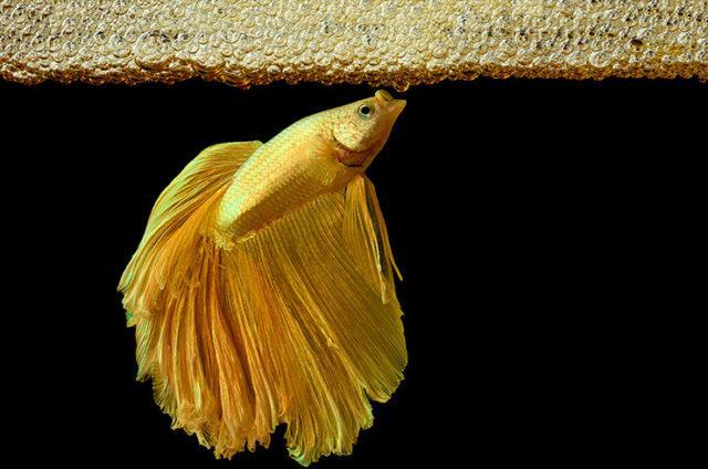 Самец петушка строит гнездо