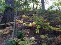 More ferns at Quarter Mile Pond