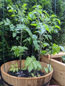 A tall tomato plant in a cage (same planter as previous photo, it's grown a few feet)