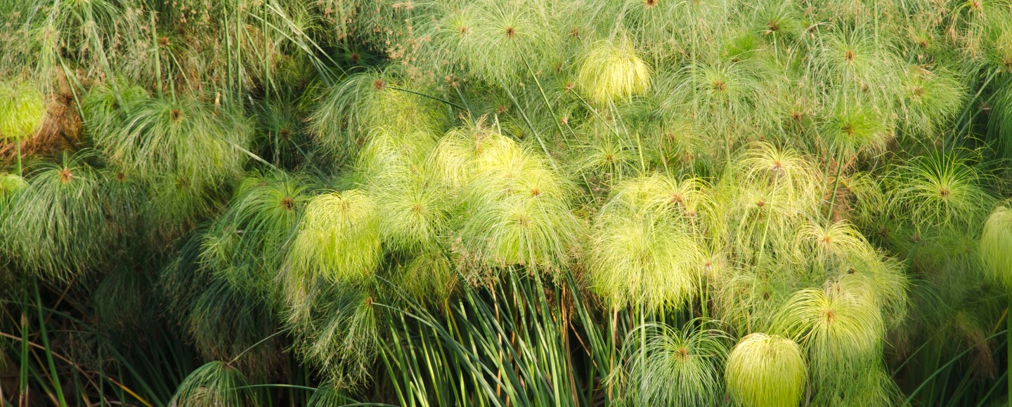 Image of the Papyrus plant