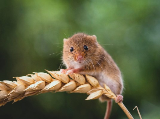 Harvest Mouse Julian King