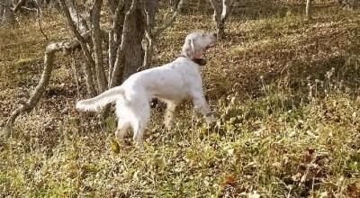 Pointing Appalachian Grouse
