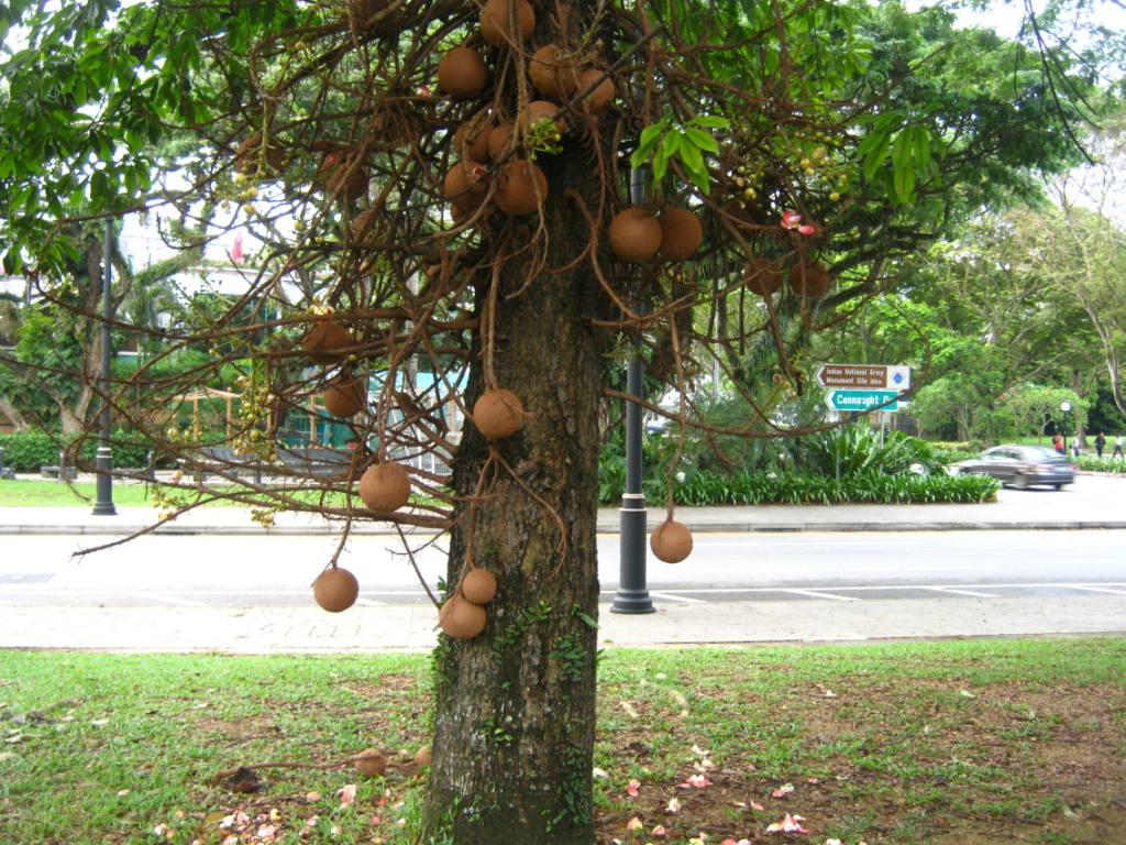 Pohon Kanon si Peluru Meriam alias Pohon Sala  RyNaRi