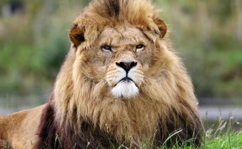 lion taking things personally rynski