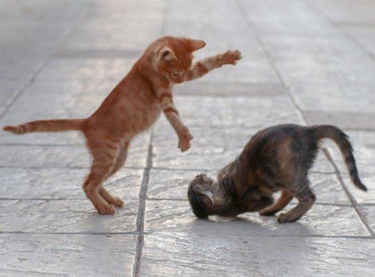 kitten play rynski