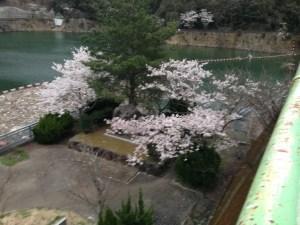 天ヶ瀬ダム 桜