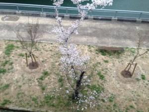 天ヶ瀬ダム 4月