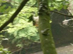 幹のオス 群生 - モリアオガエル
