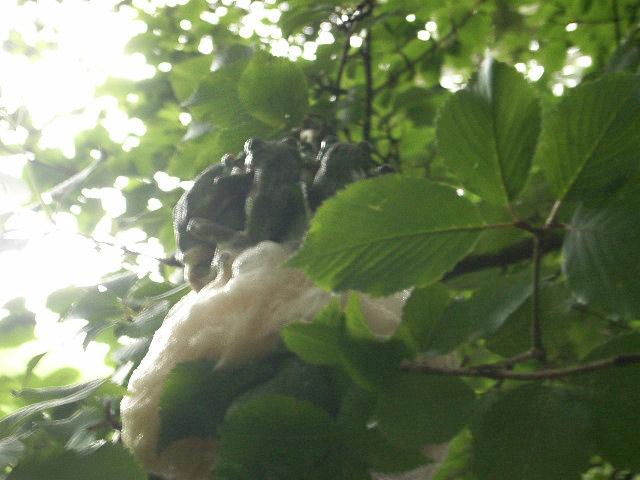 卵とオス群生 - モリアオガエル
