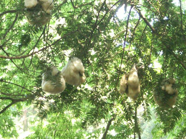 樹上の卵群 - モリアオガエル