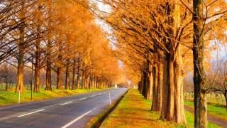 メタセコイア並木道の紅葉