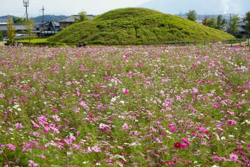 関西・奈良のコスモス名所「藤ノ木古墳」