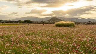 関西・奈良のおすすめコスモス畑「藤原宮跡のコスモス」