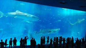 沖縄美ら海水族館の巨大水槽とジンベイザメ