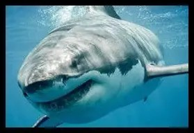 ホホジロザメ,人食いサメ