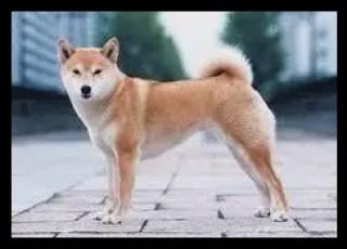 柴犬,豊山犬,似てる