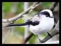 本州,エナガ,野鳥,かわいい