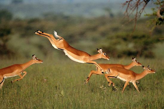 gazelle20leaping1
