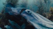 votcuttlefish