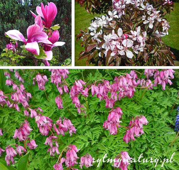 magnolia w ogrodzie