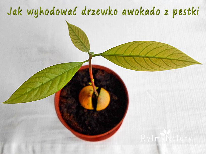 Czy wiesz jak zasadzić awokado z pestki aby wyrosło takie drzewko?