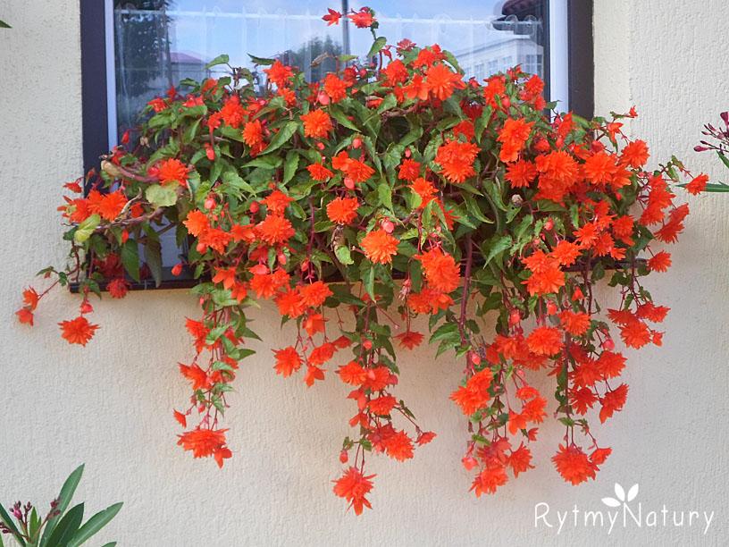 Zwisająca begonia bulwiasta to oszczędny sposób na piękny taras i balkon!