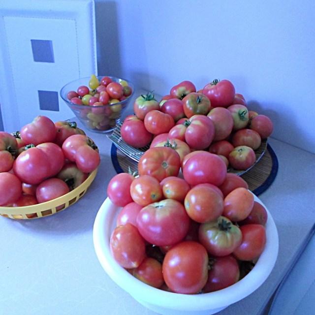 W tym sezonie pomidorki mi naprawd obrodziy Zajadamy si nimihellip